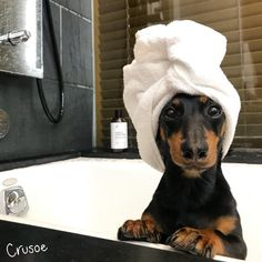 ideas memes love funny animal pictures for 2019 Doberman Dogs, Dachshund Puppies, Dachshunds, Funny Dachshund, Cute Baby Dogs, Cute Dogs And Puppies, Cute Animal Photos, Funny Animal Pictures, Cute Little Animals