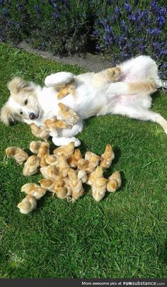 This dog gets all the chicks
