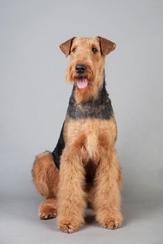 Airedale Terrier: I will have one, along with a Great Dane... and a SNAKE. -- Curated by Noah's Ark Mobile Veterinarian Service | 784 Raymer Rd, Kelowna BC V1X1A2 | (250) 212-5069