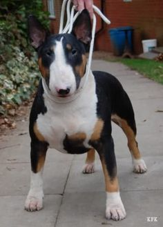 Chien Bull Terrier, Mini Bull Terriers, Miniature Bull Terrier, Bull Terrier Puppy, English Bull Terriers, Sweet Dogs, Cute Dogs, Pit Bull, Education Canine