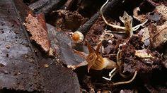 Thismia inconspicua – hvězdnatka nenápadná.  Nalezená na ostrově Borneo v sultanátu Brunej Michalem Sochorem (jeho foto).