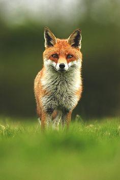 wavemotions:  fox