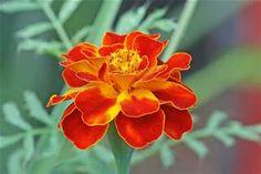 marigold October birth flower