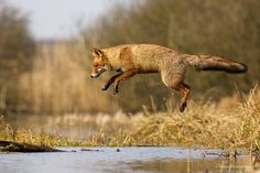 """Flying Fox"" by Laurens de Haas"