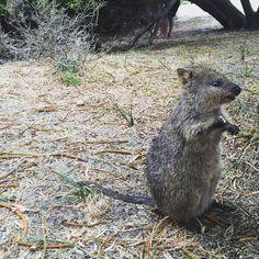 qoakkas at rottnest island #qoakkas #autralien #animals #howcute #rottnestisland #daytrip #australia #perth #travel #traveler #travelblog #travelingram #wanderlust #wanderer #saturday #day60  by ninschaa__ http://ift.tt/1L5GqLp