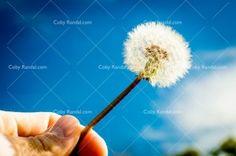 dandelion-hand-upclose