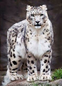 One of my favourite big cats the divine beauty the snow leopard Big Cats, Cats And Kittens, Cute Cats, Ragdoll Kittens, Tabby Cats, Funny Kittens, Bengal Cats, White Kittens, Adorable Kittens