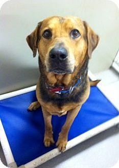 Joplin, MO - Labrador Retriever/Mastiff Mix. Meet Parker 84576, a dog for adoption. http://www.adoptapet.com/pet/11663427-joplin-missouri-labrador-retriever-mix