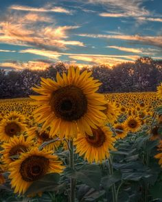 https://flic.kr/p/8AfRvH | Sunflowers At Sunset, Jarrettsville, MD