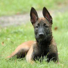Бельгийский малинуа – бельгийская полицейская овчарка, история породы собак малинуа, описание, темперамент породы собак. Фотографии бельгийского малинуа.