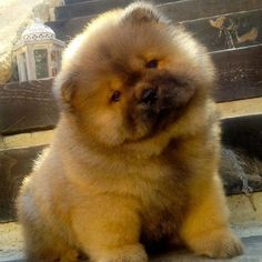 Thankful I found out it's #NationalPuppyDay!!  Looking at puppies has been making me feel relaxed lately. Here is a little cutie baby #ChowChow - the kind of dog I wanted as a kid but will prob never have unless I move out of the city and gain 30 lbs of pure muscle because they are BIG when grown but so cute and loving! They almost look like lions as adults and they have purple tongues! #nicsthanks2017 cc: @auntiemoz