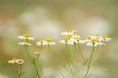 chamomile by * Yumi *, via Flickr