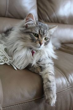 Lovely Norwegian Forest cat Pretty Cats, Beautiful Cats, Kittens Cutest, Cats And Kittens, Chat Maine Coon, Sweet Dogs, Cat Anatomy, Japanese Cat, Siberian Cat