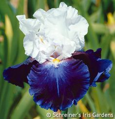 Captain's Choice | Blue Iris