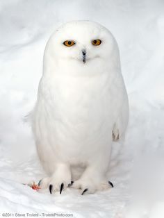 White owl in snow, photo: Steve Troletti