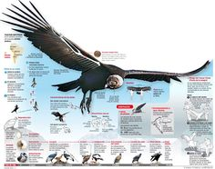 Extinct Animals, Prehistoric Animals, Information Design, Information Graphics, Science For Kids, Science Nature, Inca Art, Andean Condor, Science Illustration