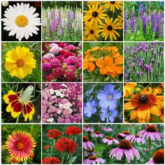 Shop for Black Eyed Susan Seeds by the Packet or Pound.Com offers Hundreds of Seed Varieties, Including the Finest and Freshest Black Eyed Susan and Rudbeckia Seeds Anywhere. Garden Seeds, Garden Plants, Flowers Garden, Flower Gardening, Indoor Plants, Fall Perennials, Gloriosa Daisy, Wildflower Seeds, No Rain