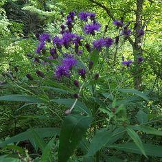 Vernonia noveboracensis - New York Ironweed Large Leaf Plants, Marsh Marigold, Swamp Milkweed, New York, Great Backgrounds, Big Leaves, Plants Online, Native Plants, Garden Plants