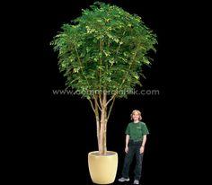 Huge Ficus, immense beauty, no maintenance