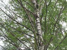 Birch foliage