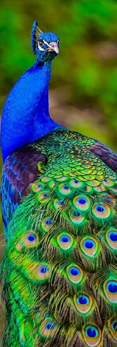 Peacock Images, Peacock Pictures, Bird Pictures, Pretty Birds, Beautiful Birds, Animals Beautiful, Peacock Painting, Peacock Art, Peacock Colors