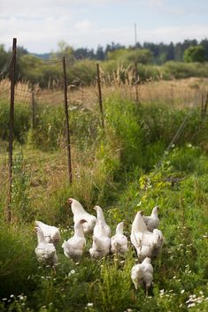 The hens are out