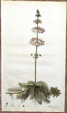 A superb large original hand-coloured copperplate engraving entitled HOTTONIA PALUSTRIS Water Hottonia or Water Violet An Aquatic Plant Drawn by Water Violet, Bach Flowers, Plant Drawing, Aquatic Plants, Botanical Prints, Hand Coloring, Botany, Regency, Flower Power
