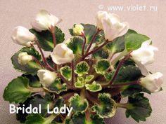 Bridal Lady(мини).Стартёр 20.01..Цветки-полумахровые широко раскрывающиеся колокольчики-звёзды красивого бежевого цвета.Запасынковался ужасно.
