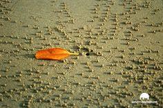 Cangrejo bola, Cape Tribulation, Australia Cape, Australia, Pictures, Mantle, Cabo, Cloak, Australia Beach