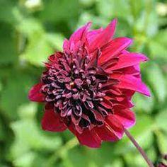 Photo de  Dahlia à fleur d'anémone 'Soulman' l'unité