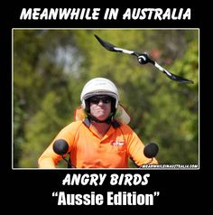 who needs angry birds, we got the real thing, except we try to avoid them. Australian Memes, Aussie Memes, Funny Quotes, Funny Memes, Hilarious, Jokes, Funny Shit, Funny Stuff, Funny Things