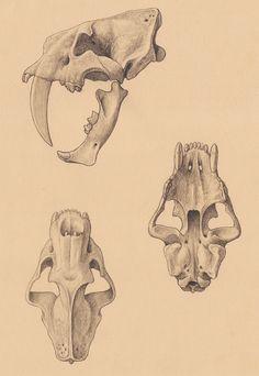 Megantereon, Smilodon populator and Promegantereon by Mauricio Antón