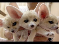 Fennec Fox Compilation 2018 - YouTube