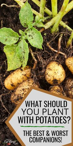 Companion planting can help you create an organic vegetable garden with fewer pests, a better harvest, and more flavor. Learn what make the best potato companion plants in your vegetable garden… Organic Vegetables, Growing Vegetables, Fruits And Vegetables, Growing Tomatoes, Potato Companion Plants, Companion Planting, Container Gardening, Gardening Tips, Container Houses