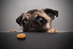 "#Pug ""Me want cookie"""