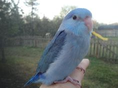 Cobalt Blues 2013- third generation 036 | Friendly Bird ...