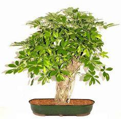 Dwarf Umbrella Tree Bonsai | Dwarf+umbrella+tree+bonsai