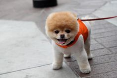 Cutest dog in the world, Boo. sorry Boo, I live with the cutest dog in the world but you're a close Boo The Cutest Dog, World Cutest Dog, Puppy Care, Pet Puppy, Pomeranian Puppy, Yorkie, Cute Puppies, Cute Dogs, Baby Animals