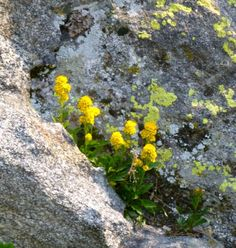 Rabbit brush the western and in the spring on pinterest