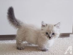 gorgeous-munchkin-kittens-for-sale-americanlisted_37471633.jpg