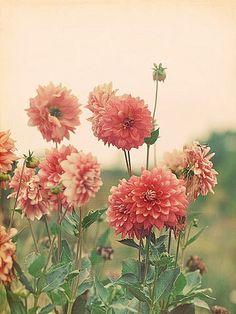 hoa thược dược, ở VN bây giờ khó gặp màu hoa này quá :( toàn là tim tím thôi, mỗi dịp Tết cũng chỉ có 1 ít :(