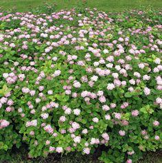 Rinneangervo – Spiraea densiflora Landscaping Plants, Garden Plants, Willamette Valley, Stepping Stones, Yard, Landscape, Outdoor Decor, Green, Rocks