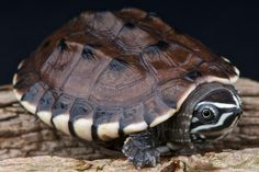 Photo about Malayan snail-eating turtle / Malayemys macrocephala. Image of wildlife, indonesia, reptiles - 24142892 Tortoise Care, Tortoise Turtle, Terrapin, Unique Animals, Nature Animals, Pretty Animals, Turtle Meaning, Types Of Turtles, Animal Symbolism
