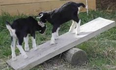 Baby Goats Play on a See Saw (Video)