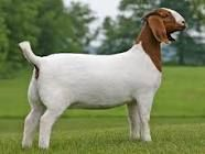 Boer Goats. They are growing on me!
