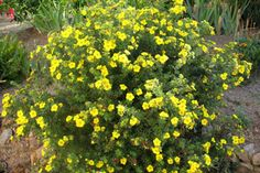 goldfinger Potentilla fruticosa shrub -  - Zone: 2 - Height: 1.25m Spread: 1m - Full sun to partial shade Shrub - Drought tolerant once established - Slow to medium growth
