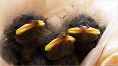 Wattle bird orphans