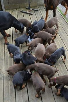 What do you call a group this size of Doberman puppies? A MESS of doberman puppies! Baby Puppies, Cute Puppies, Dogs And Puppies, Cute Dogs, Doggies, Blue Doberman, Doberman Love, Doberman Funny, Doberman Pinscher Puppy