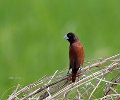 Chestnut Munia or Maya Delicate humble brown bird Mindanao, Brown Bird, Most Common, Kinds Of Birds, Wild Birds, Philippines, Urban, Maya, Nature