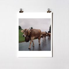 Swiss Cows  Switzerland  Fine Art Photography  C Print by CARL POSEY, $35.00